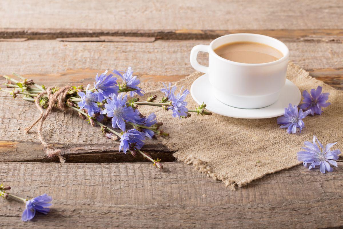 Напиток цикорий польза и вред для здоровья