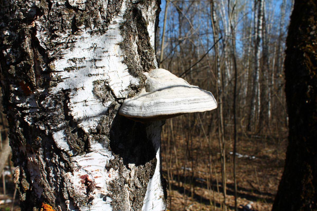 Состав гриба чага